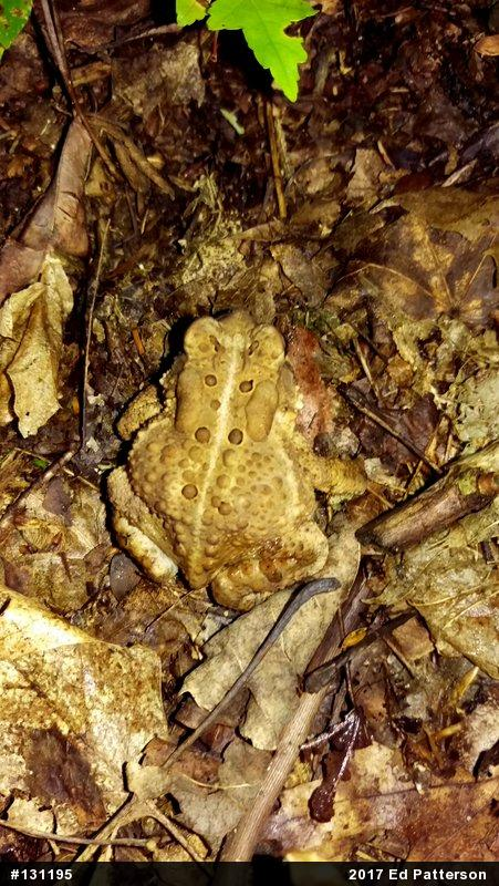 Eastern american toad anaxyrus americanus for Indiana fishing license age