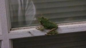 Unknown Gray Treefrog