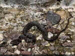 Northern Watersnake