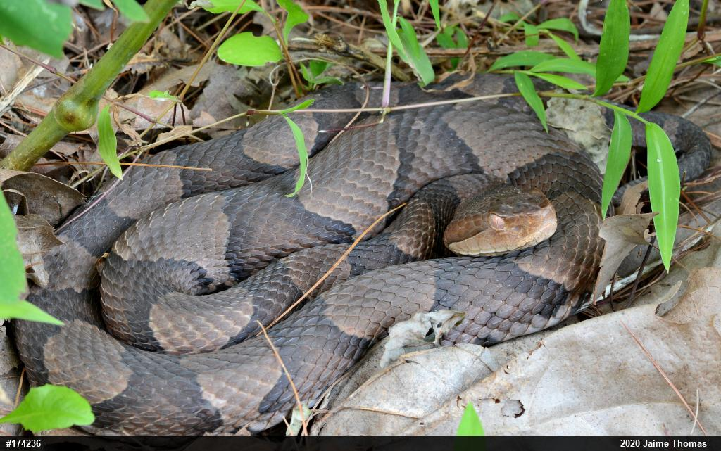 Northern Copperhead