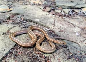 Shorthead Gartersnake
